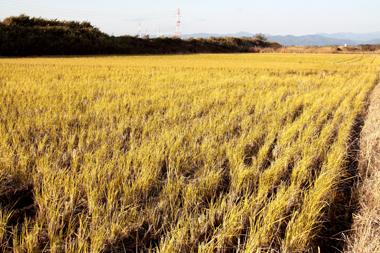 水月の田んぼ(収穫後)